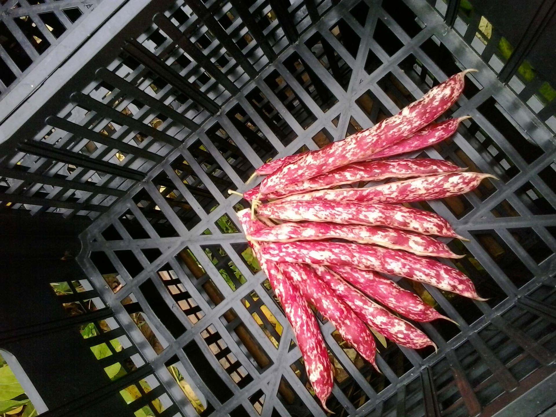 Il fagiolo rosso rampicante di Nazari Ortofrutta